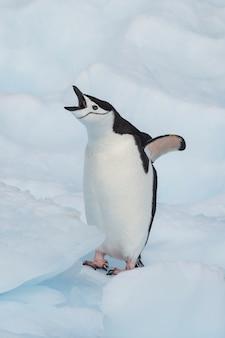 Pingwin chinstrap na lodzie
