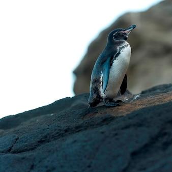 Pingwin galapagos (spheniscus mendiculus), tagus cove, isabela island, wyspy galapagos, ekwador