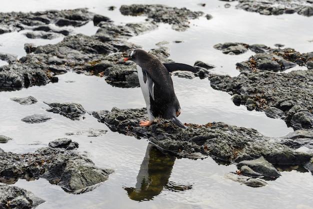 Pingwin gentoo na plaży na antarktydzie