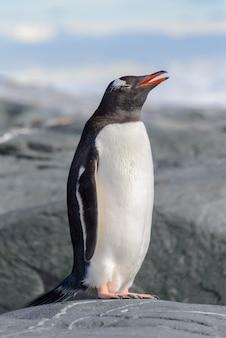 Pingwin gentoo na skale na antarktydzie