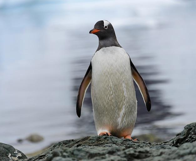 Pingwin gentoo na skale