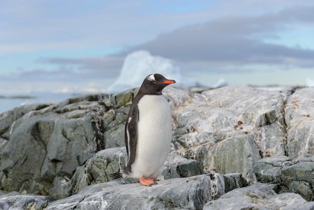Pingwin gentoo na śniegu na antarktydzie