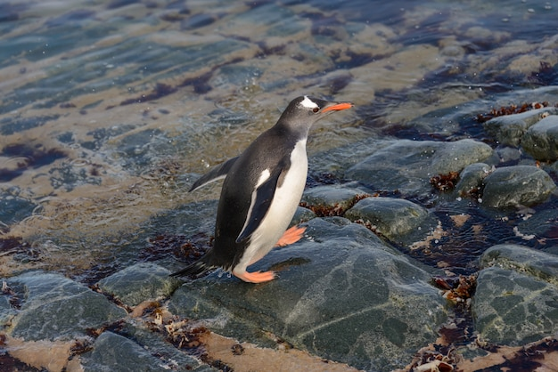 Pingwin gentoo w wodzie