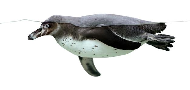 Pingwin humboldta na białym tle