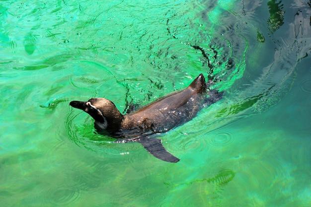 Pingwin jest zajęty pływaniem w stawie