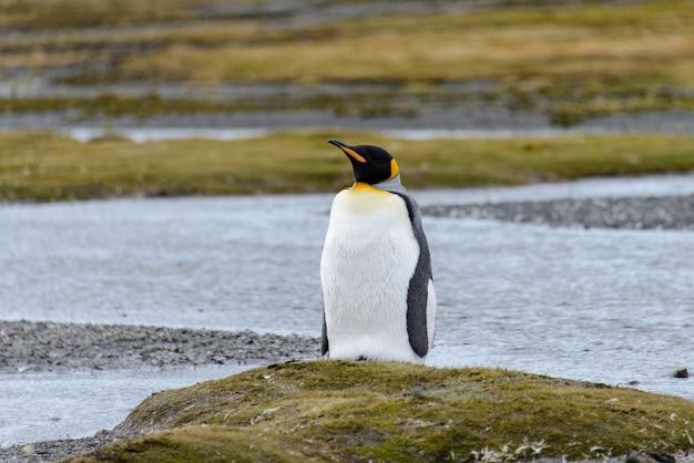 Pingwin królewski