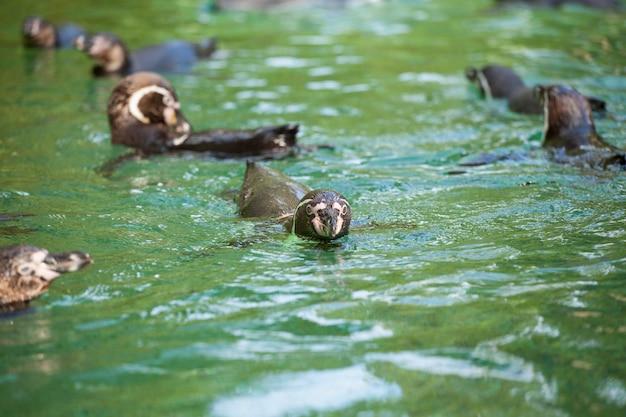 Pingwin manchot