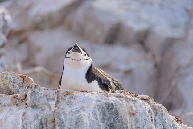 Pingwin maskowy leżący na skale na antarktydzie