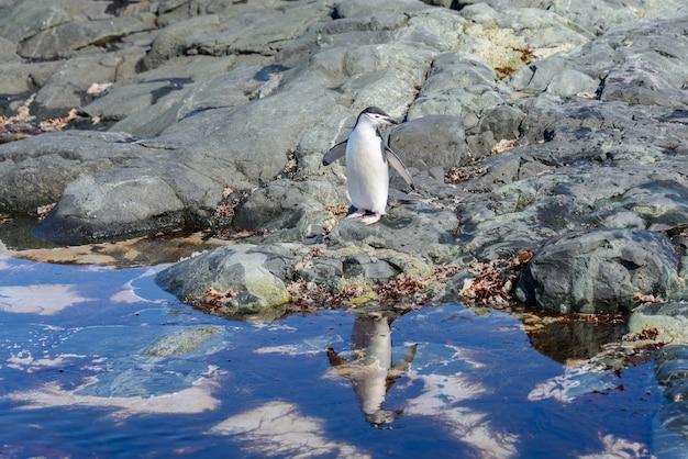 Pingwin maskowy na plaży na antarktydzie z odbiciem