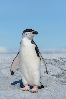 Pingwin maskowy na plaży na antarktydzie