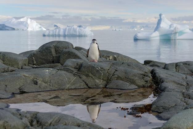 Pingwin maskowy na skale z odbiciem na antarktydzie