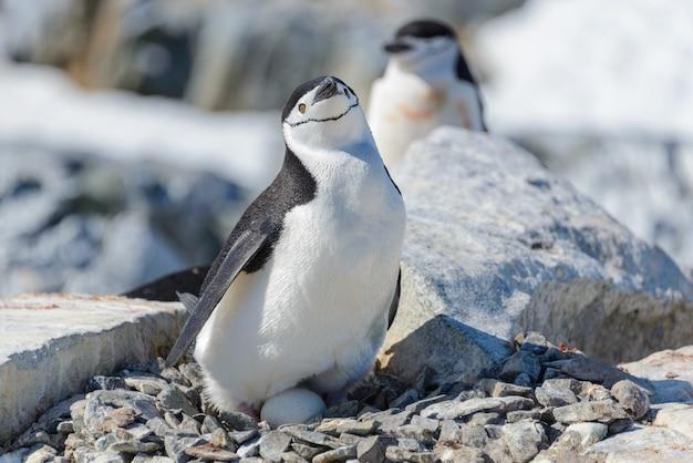 Pingwin maskowy z jajkiem na plaży na antarktydzie