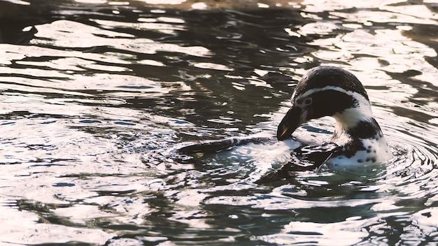 Pingwin pływa w niebieskim kolorze wody i bawi się płynnym morskim pluskiem i nurkuje pod wodą z bardzo dużą prędkością, a następnie wynurza się ponownie.