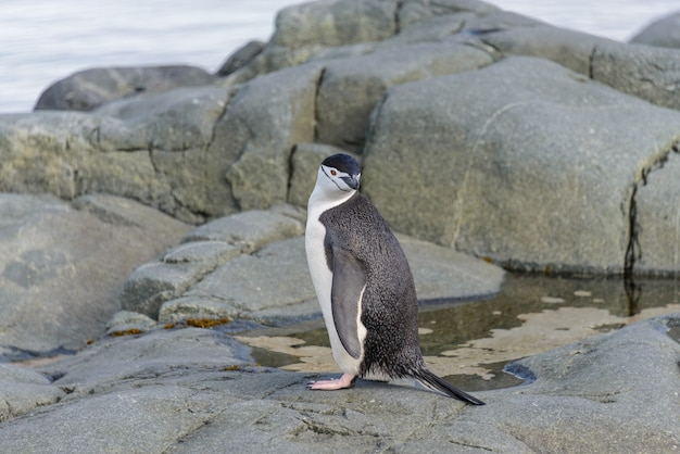 Pingwin podbródkowy na skale z bliska
