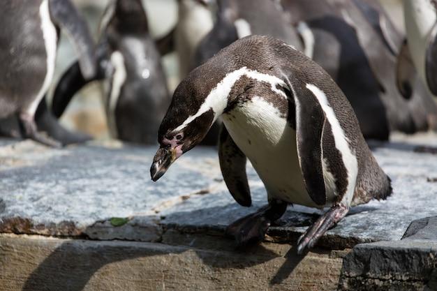 Pingwin próbuje zanurzyć się w wodzie, w tle grupa pingwinów humboldta