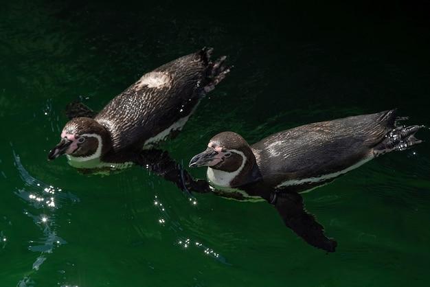 Pingwin przylądkowy - spheniscus demersus lub pingwin czarnogłowy w wodzie.