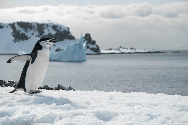 Pingwin spacerujący po zamarzniętej plaży