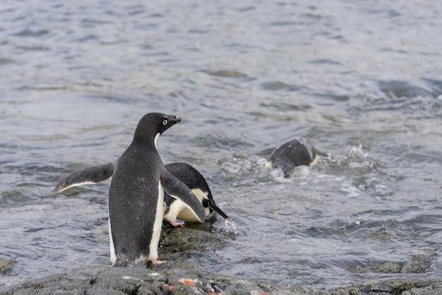 Pingwiny adelie idą do wody na antarktydzie