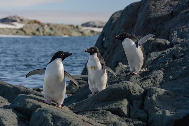 Pingwiny adelie na plaży