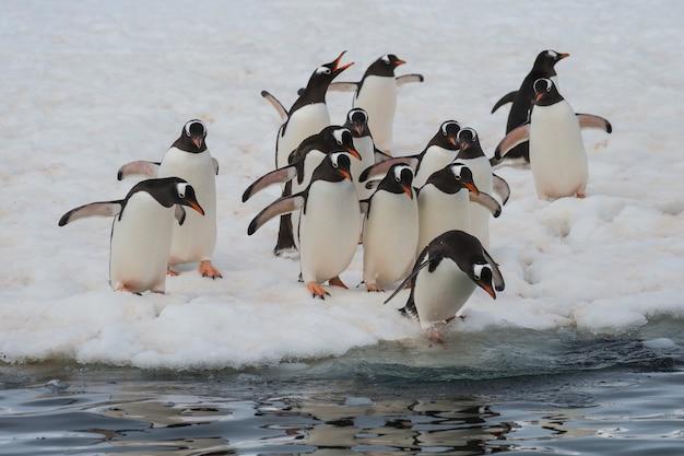 Pingwiny gentoo chodzą po lodzie