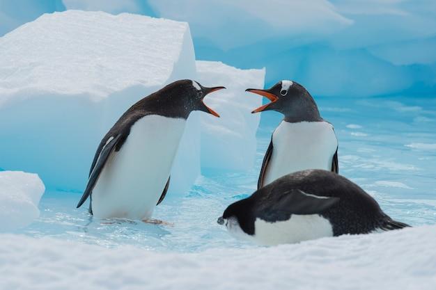 Pingwiny gentoo na lodzie
