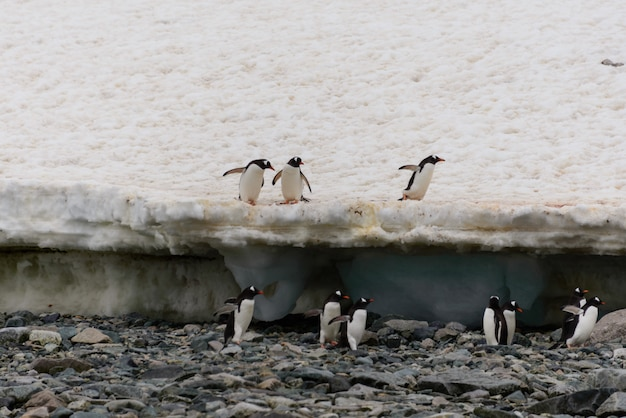 Pingwiny gentoo na plaży