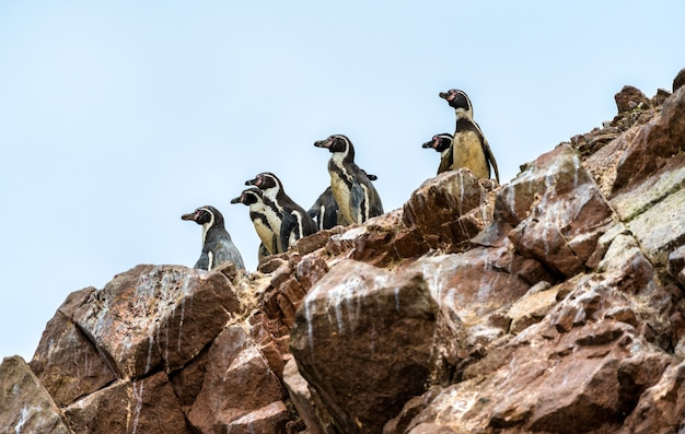 Pingwiny humboldta na wyspach ballestas w peru