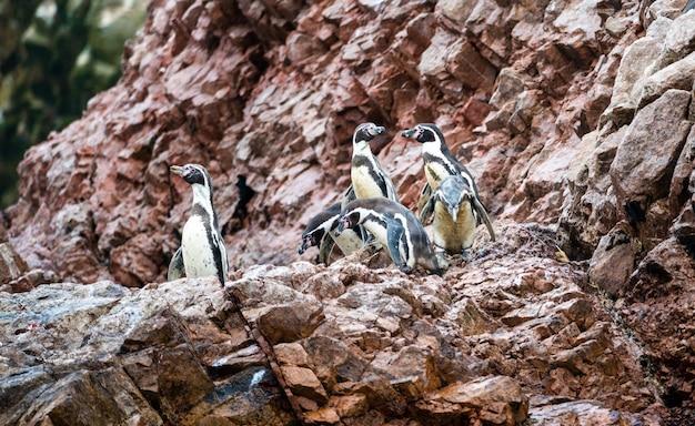 Pingwiny humboldta na wyspach ballestas w pobliżu paracas w peru