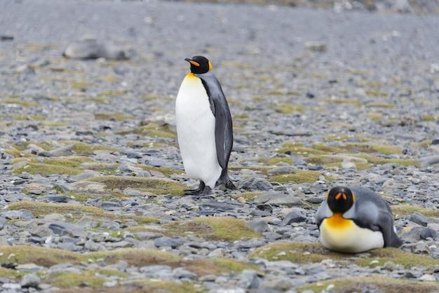 Pingwiny królewskie na wyspie georgia południowa