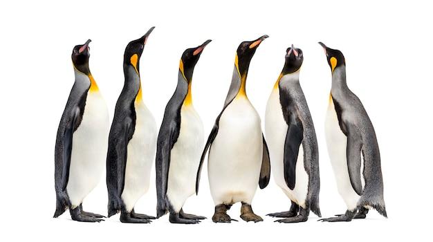 Pingwiny królewskie spaceru z rzędu, na białym tle