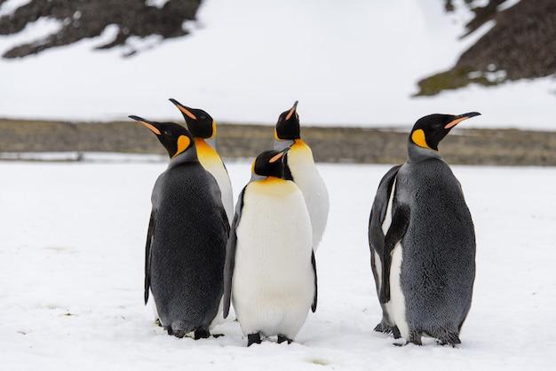 Pingwiny królewskie w antartica