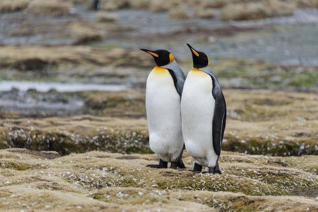 Pingwiny królewskie