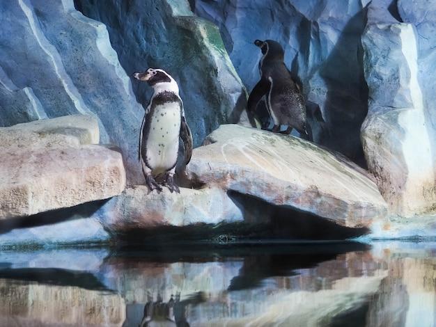 Pingwiny na skale, pingwiny w zoo, w pomieszczeniu, za szkłem.