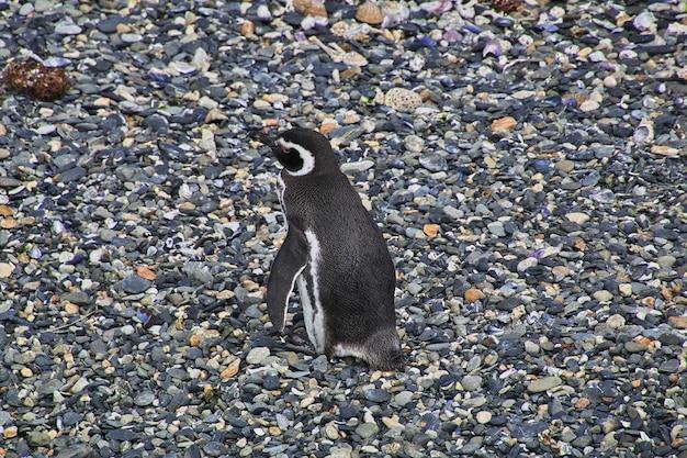 Pingwiny na wyspie w beagle kanału zamykają ushuaia miasto, tierra del fuego, argentyna