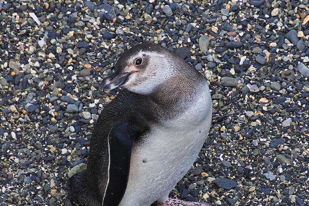 Pingwiny na wyspie w kanale beagle w pobliżu miasta ushuaia, ziemia ognista w argentynie