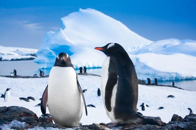 Pingwiny odpoczywają na kamienistym wybrzeżu antarktydy