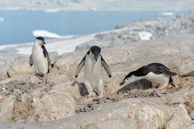 Pingwiny podbródkowe na plaży na antarktydzie