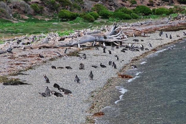Pingwiny w kanale beagle, ushuaia, tierra del fuego, argentyna
