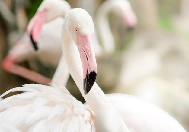Pink flamingo z bliska z różowymi i czarnymi dziobami