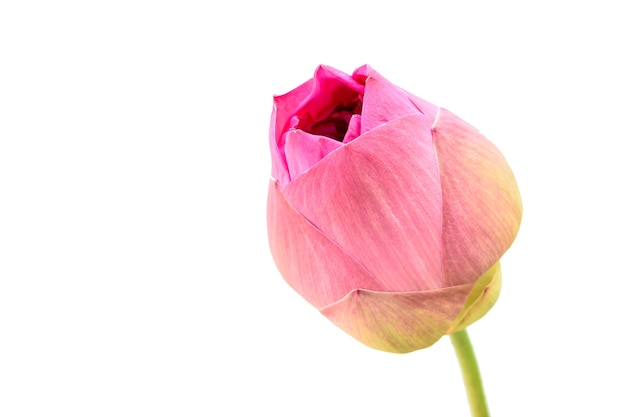 Pink lotus water lily kwitnący na białym tle na białym tle