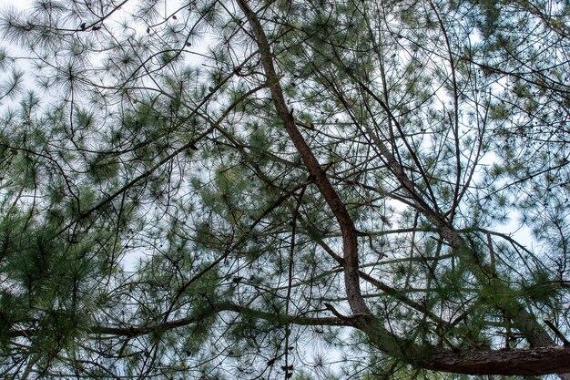 Pinus mugo - jest również znany jako sosna pełzająca, kosodrzewina, sosna mugo.