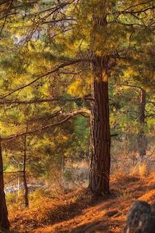 Pinus nigra, sosna austriacka lub sosna czarna to gatunek sosny występujący w południowej europie śródziemnomorskiej
