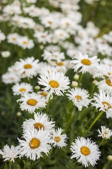 Pionowa selektywna ostrość pola pięknych rumianków