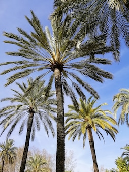 Pionowe niski kąt strzału palm z błękitnym niebem