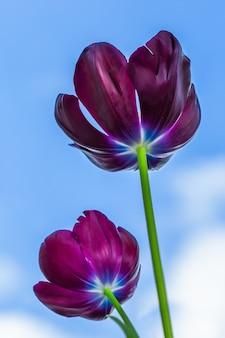 Pionowe niski kąt strzału wspaniałych czarnych tulipanów pod błękitnym niebem