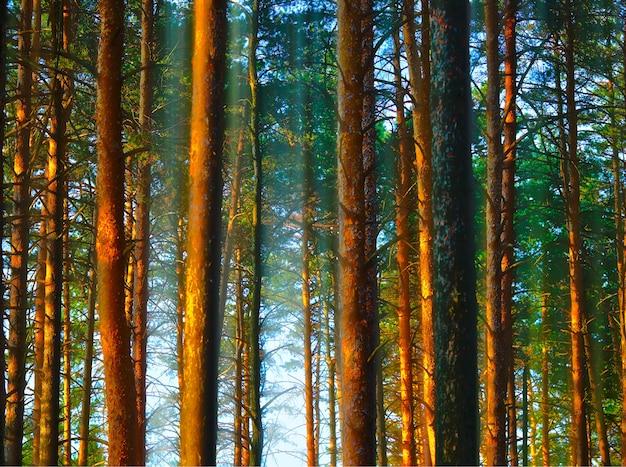 Pionowe pnie drzew w tle krajobrazu lasu o zachodzie słońca