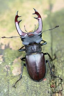 Pionowe selektywne fokus strzał chrząszcza jelonka na ziemi