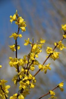 Pionowe selektywne fokus strzał kwiatów forsycji pod błękitnym niebem