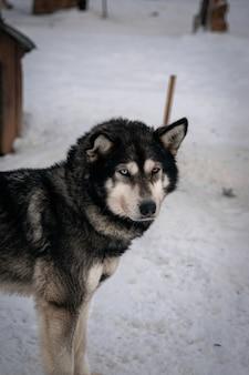 Pionowe selektywne ujęcie czarnego husky syberyjskiego w zimie