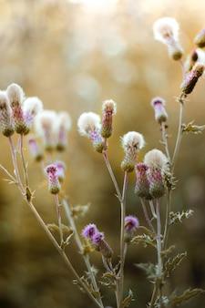 Pionowe selektywne ujęcie ostrości roślin silybum objętych światłem słonecznym